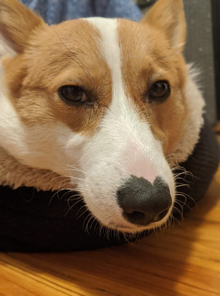 disapproving corgis facebook group