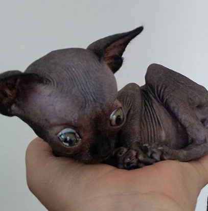 Rare Condition Makes This Cat Look Like A Bat