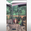 mountain lions invade porch