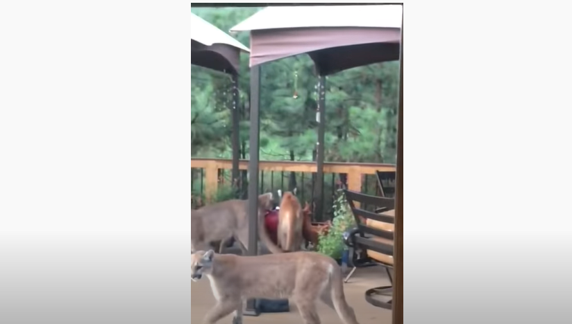 Man's Porch Invaded by Group of Mountain Lions