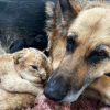 german shepherd mothers lions
