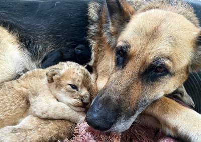 German Shepherd Steps up to Mother two Abandoned Lion Cubs