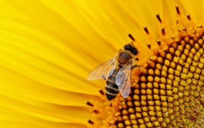 Bee Population Increasing In US After Years of Decline